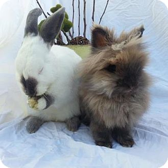 Lionhead Mix for adoption in El Cerrito, California - Dandelion and Max
