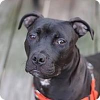 Adopt A Pet :: Maximus - Pittsbugh, PA
