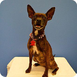 Chihuahua Mix Dog for adoption in Buena Vista, Colorado - Papaya