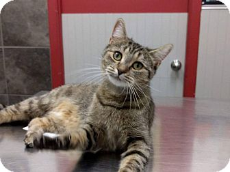 Domestic Shorthair Cat for adoption in THORNHILL, Ontario - Gazelle