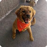 Adopt A Pet :: Goldie - San Diego, CA