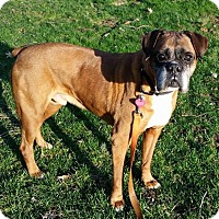 Adopt A Pet :: Medical Hold - Sarge - Waterford, MI