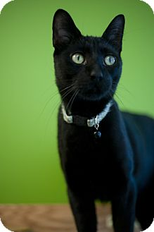 Domestic Shorthair Cat for adoption in Chicago, Illinois - Dubloon