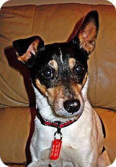 Fox Terrier (Toy) Mix Dog for adoption in Toronto, Ontario - Peppy