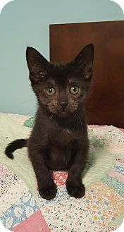 Domestic Shorthair Kitten for adoption in Highland, Indiana - Luna