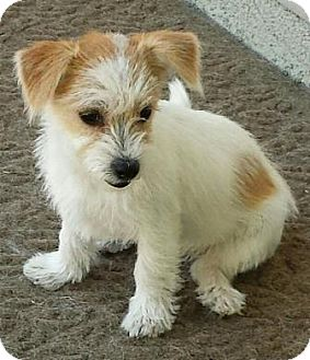 Terrier (Unknown Type, Small) Mix Puppy for adoption in San Clemente, California - Thelma