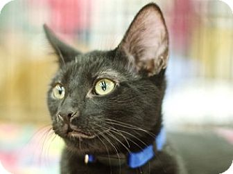 Domestic Shorthair Kitten for adoption in Great Falls, Montana - George