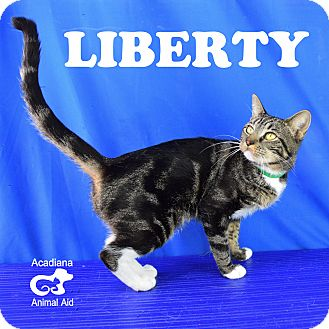 Domestic Shorthair Cat for adoption in Carencro, Louisiana - Liberty