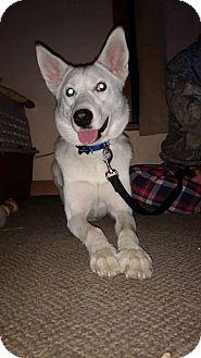 Siberian Husky Mix Dog for adoption in Cavan, Ontario - Jasper