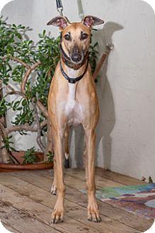 Greyhound Dog for adoption in Walnut Creek, California - Diva
