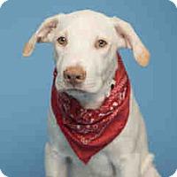 Adopt A Pet :: Lou - Only $85 adoption!!! - Litchfield Park, AZ