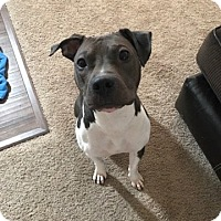 Adopt A Pet :: Angel (adoption pending) - Pataskala, OH