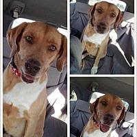 Adopt A Pet :: HARLEY - hollywood, FL
