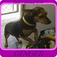 Adopt A Pet :: GINGER - Middletown, CT
