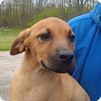 Weimaraner/Labrador Retriever Mix Puppy for adoption in Kendall, New York - Dutch