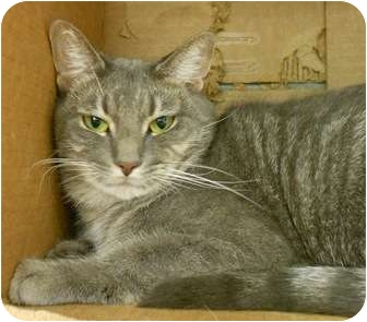 Domestic Shorthair Cat for adoption in Maywood, New Jersey - Smudge