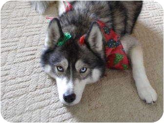 Husky Dog for adoption in Belleville, Michigan - Phelan