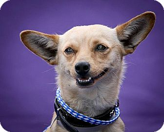 Chihuahua Mix Puppy for adoption in Poway, California - Bingo