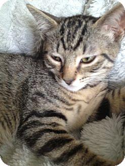 Domestic Shorthair Kitten for adoption in Island Park, New York - Muffin