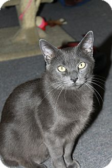 Domestic Shorthair Cat for adoption in Little Falls, New Jersey - Harper (JT)