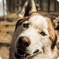 Adopt A Pet :: Kashi - Golden, CO