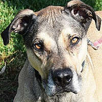 Great Dane/Boxer Mix Dog for adoption in Huntley, Illinois - Bosco