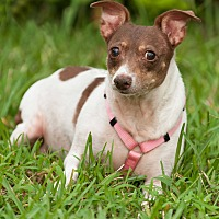 Adopt A Pet :: Layla - Palm Harbor, FL