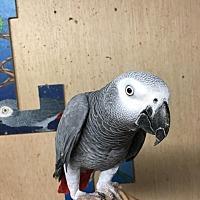 Adopt A Pet :: Jakers - Woodbridge, NJ