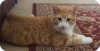 Domestic Shorthair Kitten for adoption in Charlotte, North Carolina - A..  Otto