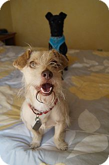 Dachshund/Sealyham Terrier Mix Dog for adoption in LA, California - Fern loves kids & dogs VIDEOS!