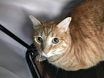 Domestic Shorthair Cat for adoption in Grand Junction, Colorado - Luke