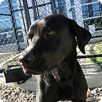 Labrador Retriever Mix Dog for adoption in Brattleboro, Vermont - Hunter