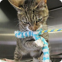 Domestic Shorthair Cat for adoption in Bridgewater, New Jersey - Ms. Bagel