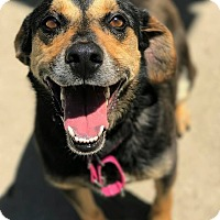 Shepherd (Unknown Type)/Beagle Mix Dog for adoption in Hanna City, Illinois - Dazzle