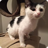 Adopt A Pet :: Checkers - East Hanover, NJ