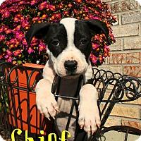 Adopt A Pet :: Chief - Brazil, IN