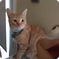 Adopt A Pet :: Marmalade - Burbank, CA