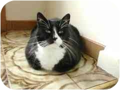 Domestic Shorthair Cat for adoption in Toronto, Ontario - Lady