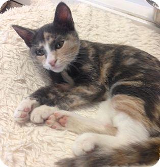 Domestic Shorthair Kitten for adoption in Cashiers, North Carolina - Nicki