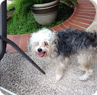 Yorkie, Yorkshire Terrier Mix Dog for adoption in Houston, Texas - Curly