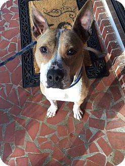 Pit Bull Terrier/Basenji Mix Dog for adoption in Jasper, Georgia - Morgan