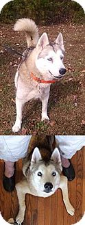 Husky Mix Dog for adoption in Chantilly, Virginia - Angel the Husky