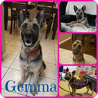 German Shepherd Dog/Belgian Malinois Mix Dog for adoption in Ft Worth, Texas - Gemma
