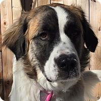 Adopt A Pet :: Paloma - Denver, CO