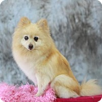 Adopt A Pet :: Lydia - Dallas, TX