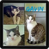 Adopt A Pet :: Gaven - Jeffersonville, IN