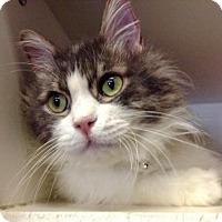 Domestic Mediumhair Cat for adoption in Camarillo, California - JAKE