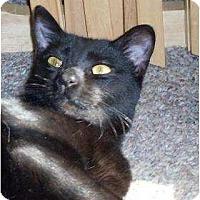 Domestic Shorthair Cat for adoption in Lilburn, Georgia - Yada