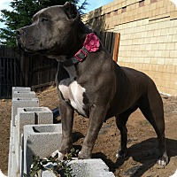 American Pit Bull Terrier Mix Dog for adoption in Lincoln, California - Violet