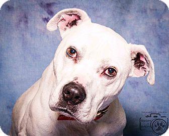 American Bulldog/Labrador Retriever Mix Dog for adoption in Divide, Colorado - Bruster